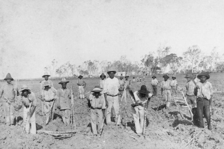 South Sea Islanders planting sugar cane at Seaforth Plantation at Ayr Queensland 1890 SLQ